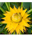 Banánovník sněžný - Ensete glaucum -semena - 3 ks