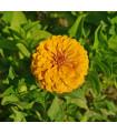 Ostálka jiřinkokvětá žlutá - Zinnia elegans - semena - 1 gr