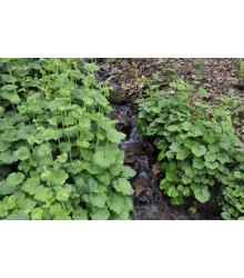 Mitrovka velkokvětá - Tellima grandiflora - semena - 0,02 g