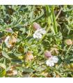 Silenka nadmutá Stridolo - Silene inflata - semena - 0,05 gr