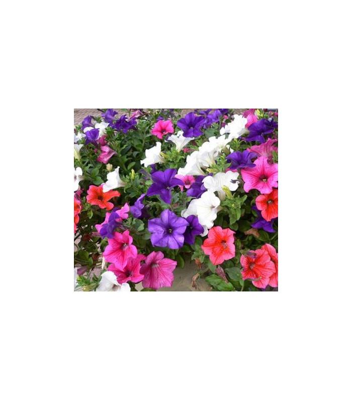 Petúnie velkokvětá převislá - Petunia hybrida pendula - semena - 20 ks