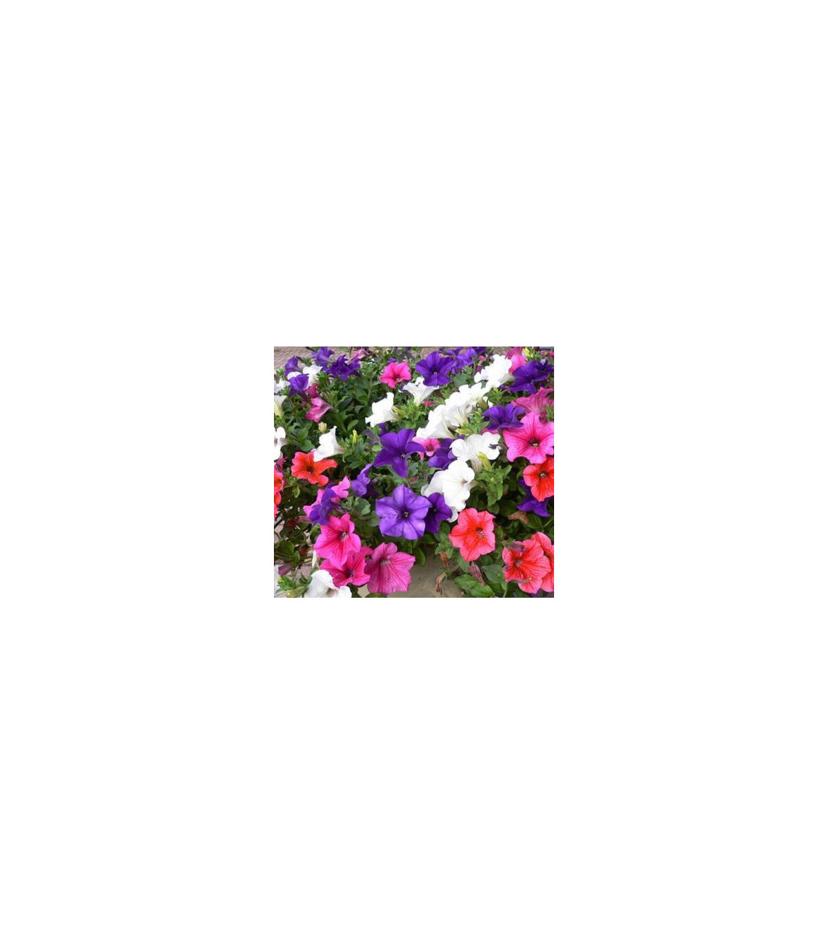 Petúnie velkokvětá převislá mix barev - Surfínie - Petunia hybrida pendula - semena - 0,05 g