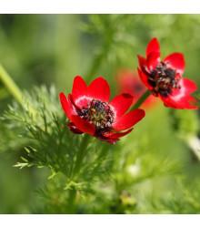 Hlaváček letní - Adonis aestivalis - semena - 0,8 g