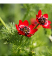 Hlaváček letní - Adonis aestivalis - semena - 1 gr