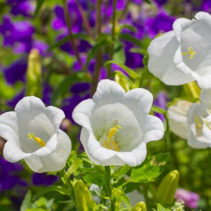 Zvonek karpatský bílý - Campanula carpatica - semena - 400 ks