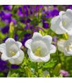 Zvonek karpatský bílý - Campanula carpatica - semena - 25 ks
