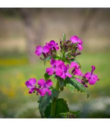 Měsíčnice dvouletá fialová - Lunaria biennis - semena - 50 ks