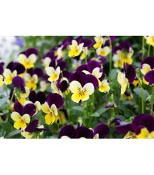 Violka rohatá směs Bambini - Viola cornuta - semena - 0,2 gr