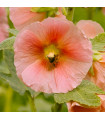 Topolovka plnokvětá růžová Chaters- Alcea rosea - semena topolovky- 0,4 gr