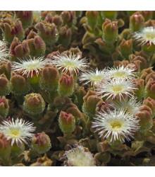 Kosmatec krystalový - Mesembryanthemum crystallinum - semena - 300 ks