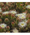 Kosmatec krystalový - Mesembryanthemum crystallinum - semena - 0,05 g