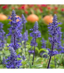 Šalvěj pomoučená - Salvia farinacea - semena - 60 ks