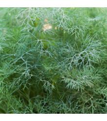 Kopr vonný Hanák - Anethum graveolens - semena - 500 ks