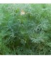 Kopr vonný - Anethum graveolens - semena - 1 gr