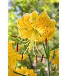Lilie Citronella - Lilium - cibule lilií - 1 ks