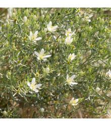 Routa stepní - Peganum harmala - semena - 30 ks