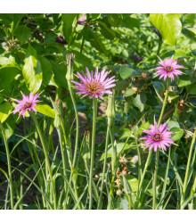 Kozí brada fialová - Tragopogon porrifolius - semena - 90 ks