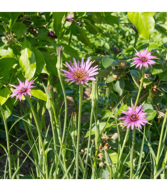 Kozí brada fialová - Tragopogon porrifolius - semena - 1,2 gr