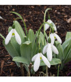 Cibulky sněženky koupit - Sněženka Elwésova - Galanthus elwesii - holandské cibuloviny - 3 ks