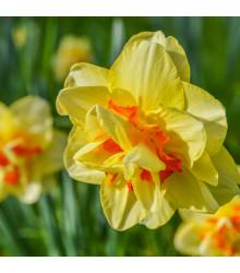 Narcis Tahiti - Narcissus Tahiti - cibuloviny - 3 ks
