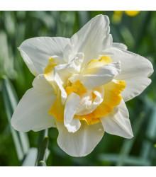 Narcis White Lion - Narcissus - cibuloviny - 3 ks