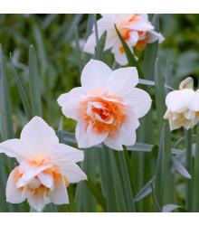 Narcis Replete - Narcisssus Replete - cibuloviny - 3 Ks