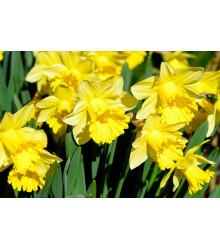 Narcis Goblet - Narcissus L. - cibuloviny - 3 ks