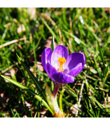 More about Krokus Flower record - Crocus vernus - cibuloviny - 3 ks