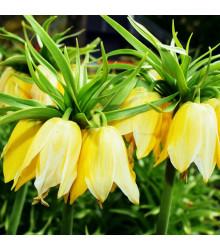 Řebčík královský Lutea - Fritillaria Imperialis Lutea Maxima - cibuloviny - 1 ks