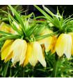 Řebčík královský Lutea - Fritillaria Imperialis Lutea Maxima - cibulky - 1 ks
