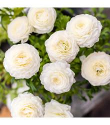 Pryskyřník plnokvětý bílý - Ranunculus asiaticus - cibuloviny - 3 ks