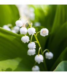 Konvalinka vonná bílá - Convallaria majalis - cibuloviny - 1 ks