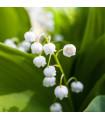 Konvalinka vonná bílá - Convallaria majalis - prodej holandských cibulovin - 1 ks