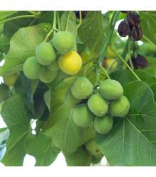 Dávivec černý - Jatropha curcas - semena - 5 ks