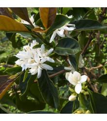 Kávovník robusta - Coffea canephora - semena - 5 ks