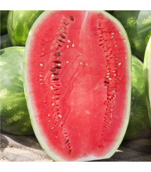 Vodní meloun Lajko F1 - Citrullus lanatus - semena melounu - 5 ks