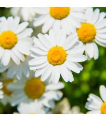 Kopretina balkónová bílá - Chrysanthemum paludosum - semena - 500 ks