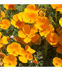 Sluncovka kalifornská oranžová - Eschscholzia californica - semena - 450 ks
