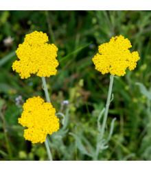 Řebříček tužebníkový Parkers žlutý - Achillea filipendulina - semena - 0,5 g