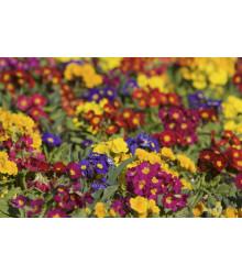 Prvosenka bezlodyžná směs - Primula acaulis - 50 ks