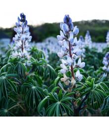 Lupina úzkolistá modrá - Lupinus angustifolia - semena - 20 ks