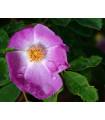 Růže nutkanská - Rosa nutkana - prodej růží - semena - 5 ks