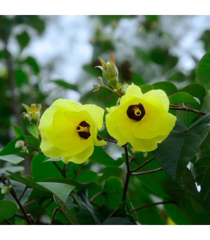 Ibišek lípovitý - Hibiscus tiliaceus - semena - 10 ks
