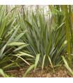 Lenovník obecný - Len Novozélandský - Phormium tenax - semena 6 ks