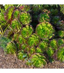 Růžicovka - Aeonium arboreum - koupit semena - 5 ks