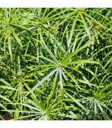Papyrus střídavolistý - Šáchor - Cyperus alternifolius - semena - 0,05 g