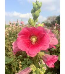 Topolovka plnokvětá růžová - Alcea rosea - semena topolovky- 0,4 g