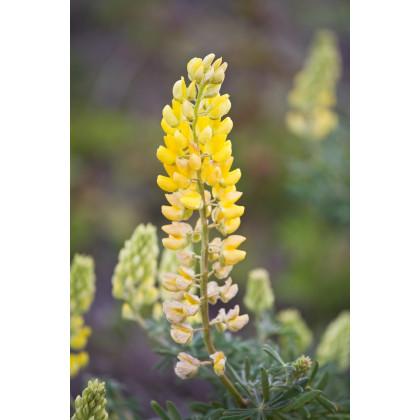 Vlčí bob žlutý - Lupinus polyphyllus - semena - 30 ks