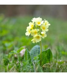 Prvosenka velkokvětá Oxlip - Primula elatior - semena - 20 ks