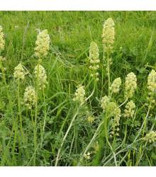Rezeda žlutá - Reseda lutea - semena - 50 ks